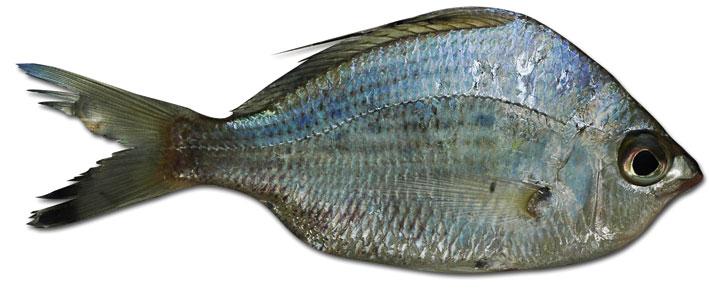 pez_azul